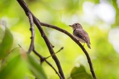 Птица (азиатская коричневая мухоловка) на дереве Стоковые Фотографии RF