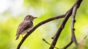 Птица (азиатская коричневая мухоловка) на дереве Стоковые Изображения RF