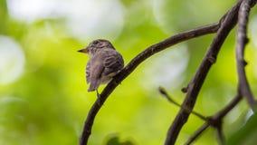 Птица (азиатская коричневая мухоловка) на дереве Стоковая Фотография