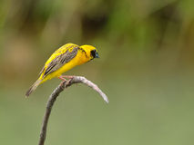 Птица (азиатский золотой ткач), Таиланд Стоковое Изображение