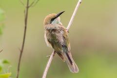 Птица Азии Стоковая Фотография