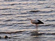 Птица аиста в воде Стоковая Фотография RF