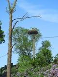 Птица аиста в гнезде, Литве Стоковое Фото