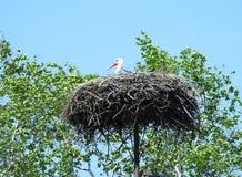 Птица аиста в гнезде, Литве Стоковые Изображения
