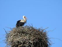 Птица аиста в гнезде, Литве Стоковая Фотография