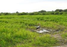 Птица аиста в луге Стоковые Изображения RF