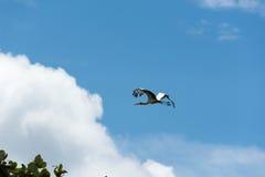 Птица аиста летая предпосылка голубого неба Стоковые Фото