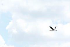 Птица аиста летая предпосылка голубого неба Стоковая Фотография RF
