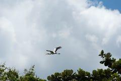 Птица аиста летая предпосылка голубого неба Стоковое Фото
