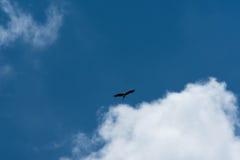Птица аиста летая предпосылка голубого неба Стоковая Фотография