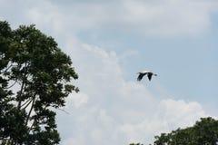 Птица аиста летая предпосылка голубого неба Стоковое Изображение RF