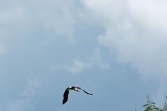 Птица аиста летая предпосылка голубого неба Стоковые Изображения RF