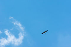 Птица аиста летая предпосылка голубого неба Стоковое Изображение