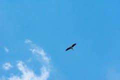 Птица аиста летая предпосылка голубого неба Стоковое фото RF