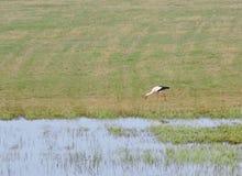 Птица аиста на траве Стоковое Фото