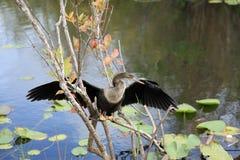 Птица американской змеешейки на национальном парке болотистых низменностей Стоковые Изображения