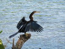 Птица американской змеешейки на пне Стоковая Фотография