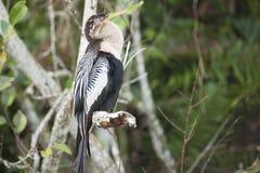 Птица американской змеешейки Стоковое Изображение