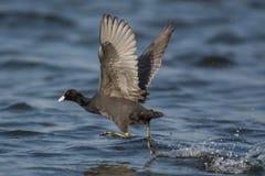 Птица американской простофили Стоковое фото RF