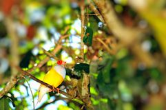 Птица дамы Gouldian Зяблика на ветви, Флориде Стоковое фото RF