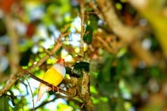 Птица дамы Gouldian Зяблика на ветви Стоковая Фотография RF