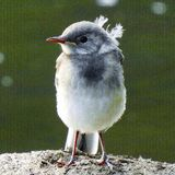 Птица Анджела Стоковое Фото