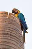 Птица ары на его гнезде сделанном на верхней части кокосовой пальмы Стоковые Фотографии RF
