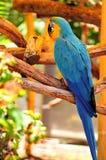 Птица ары Сине-и-золота стоковая фотография