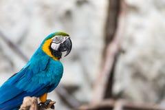 Птица ары сини и золота Стоковые Изображения
