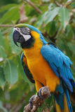 Птица ары сини и золота на ветви дерева Стоковые Фотографии RF