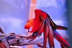 Птица ары шарлаха на ветви дерева Стоковая Фотография