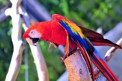 Птица ары шарлаха на ветви дерева Стоковая Фотография RF