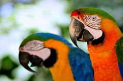 Птица ары Стоковое Фото