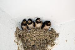 Птица ласточки стоковое фото rf