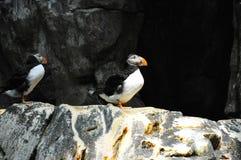 Птица атлантического тупика Стоковые Фото