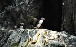 Птица атлантического тупика Стоковое фото RF