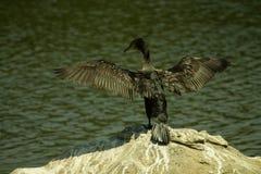 Птица баклана на своем самом лучшем взгляде Стоковая Фотография RF