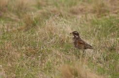 Птица белобровика в поле Стоковые Фото