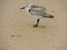 Птица берега Стоковые Изображения RF