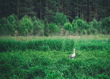 Птица белого аиста Стоковая Фотография RF