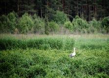 Птица белого аиста Стоковое Изображение RF