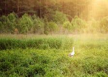 Птица белого аиста Стоковые Фото
