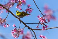 птица Бело-глаза на вишневом цвете Стоковые Изображения