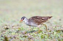 Птица Брайна в лагунах Стоковые Изображения