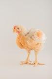 Птица - бройлер стоковое изображение