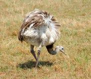 Птица верблюда Стоковые Фото