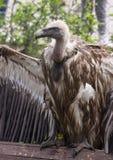 Птица взгляда со стороны хищника Griffon Стоковое Изображение RF