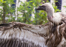 Птица взгляда со стороны хищника Griffon Стоковые Изображения
