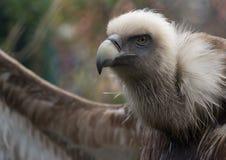 Птица взгляда со стороны хищника Griffon Стоковые Фотографии RF