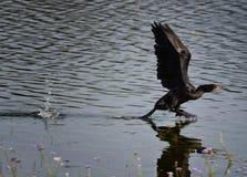 Птица взлета Стоковые Изображения